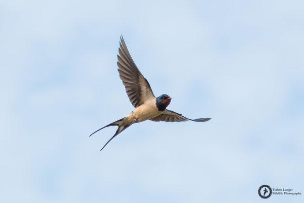 Hirundo rustica / Barn Swallow / Rauchschwalbe