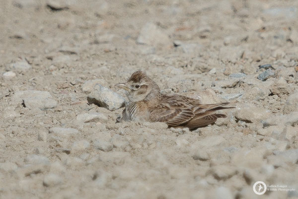This Greater Short-toed Lark is dust-bathing on the road