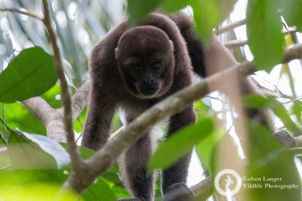 Lagothrix lagotricha / Brown Woolly Monkey / Brauner Wollaffe
