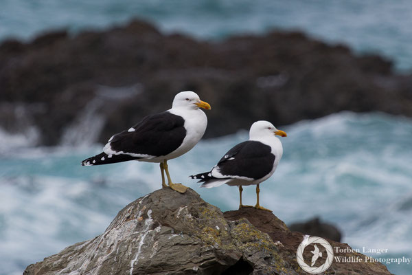 Kelp Gulls close to Kaikoura