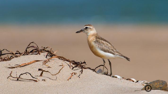 Charadrius aquilonius / Northern Red-breasted Plover / Strand-Maoriregenpfeifer