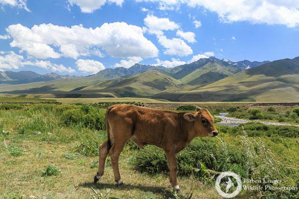 Alpine calf