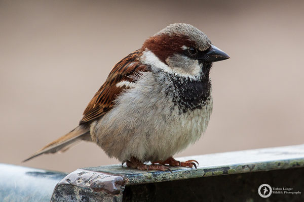 Passer domesticus / House Sparrow / Haussperling