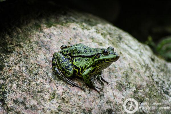 """Pelophylax """"esculentus"""" / Edible Frog / Teichfrosch"""