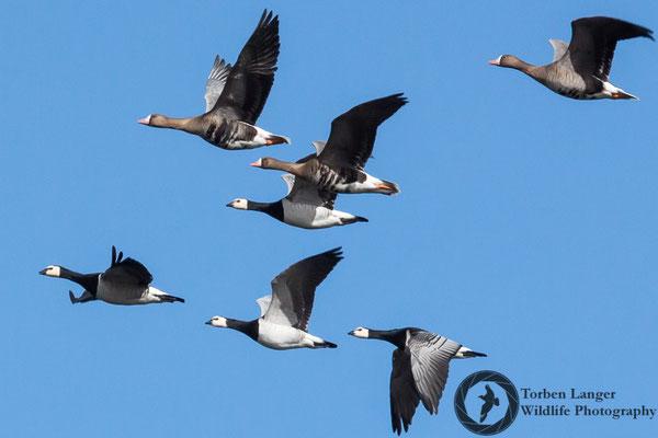 Branta leucopsis / Barnacle Goose / Weißwangengans & Anser albifrons / Greater White-fronted Goose / Blässgans