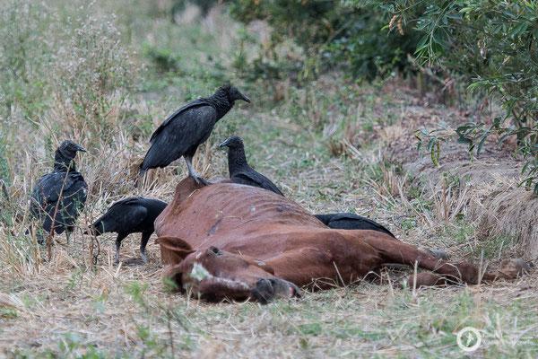 American Black Vultures love horses
