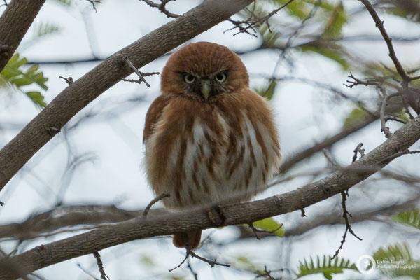 Glaucidium peruanum / Peruvian Pygmy-Owl / Peruzwergkauz