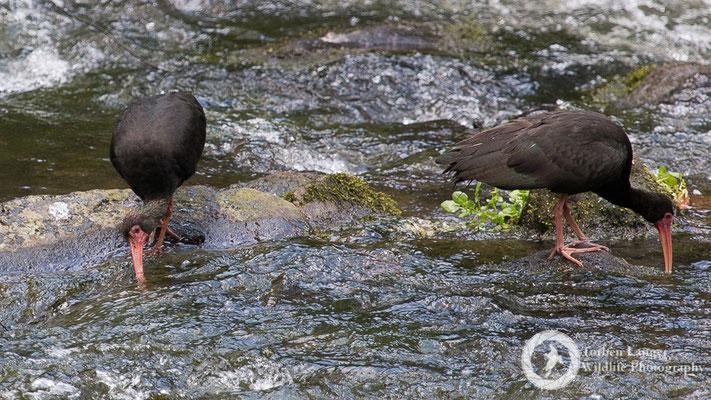 Phimosus infuscatus / Bare-faced Ibis / Mohrenibis