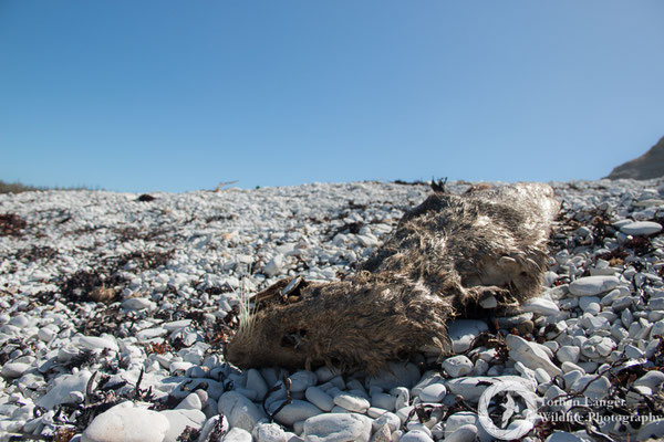 A dead New Zealand Fur Seal at Kaikoura Peninsula