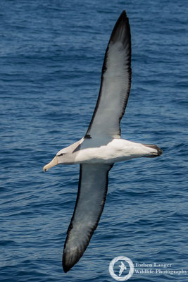 Thalassarche salvini / Salvin's Albatross / Salvinalbatros