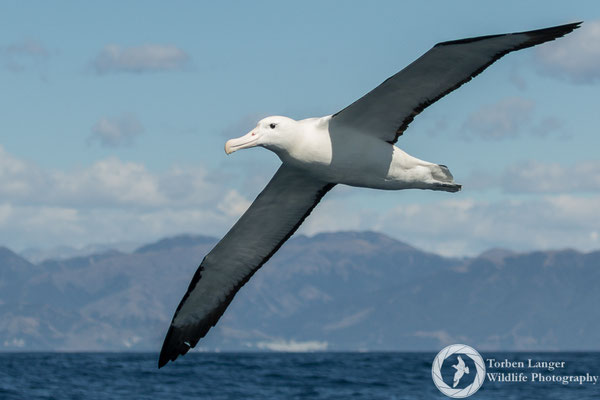 A Northern Royal Albatross in the coastal waters of Kaikoura.