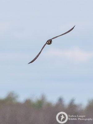 Falco subbuteo / Eurasian Hobby / Baumfalke