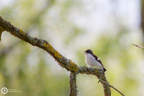 Ficedula hypoleuca / European Pied Flycatcher / Trauerschnäpper ♂