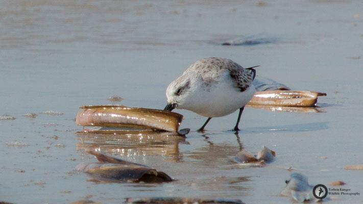 Calidris alba / Sanderling