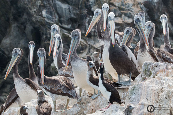 Pelecanus occidentalis / Brown Pelican / Braunpelikan & Pelecanus thagus / Peruvian Pelican / Chilepelikan