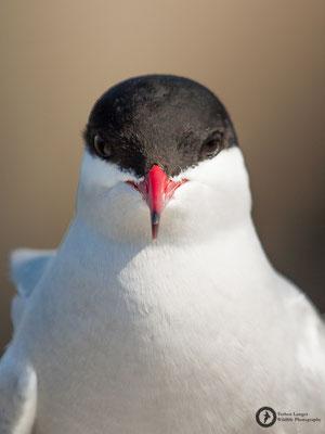 Sterna paradisaea / Arctic Tern / Küstenseeschwalbe