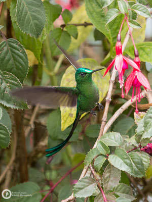 Aglaiocercus kingii - Long-tailed Slyph - Himmelssylphe ♂