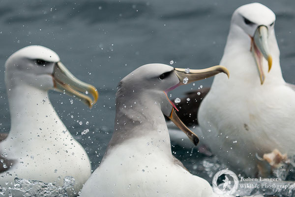 Thalassarche salvini / Salvin's Albatross / Salvinalbatros & Thalassarche steadi / White-capped Albatross / Aucklandalbatros