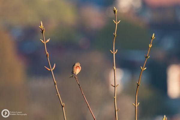 Linaria cannabina / Common Linnet / Bluthänfling