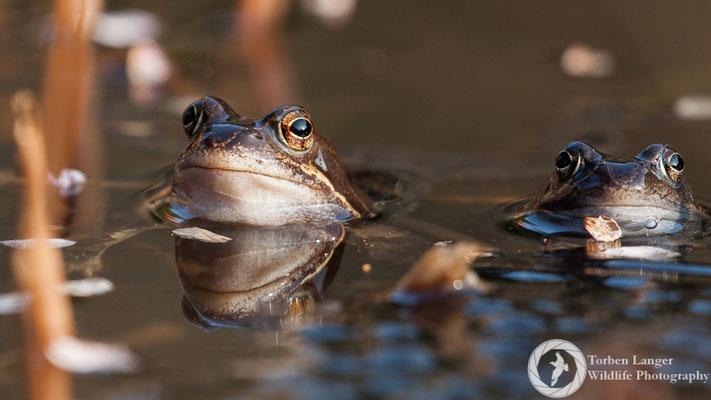 Rana temporaria / Common Frog / Grasfrosch