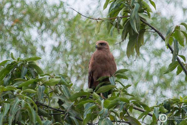 Buteogallus meridionalis / Savanna Hawk / Savannenbussard