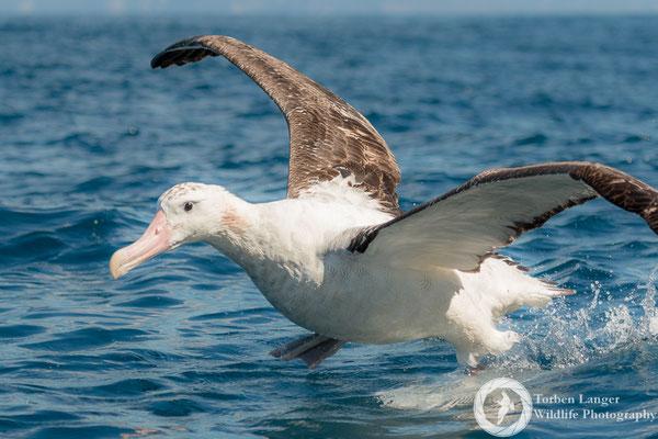 Diomedea exulans / Wandering Albatross / Wanderalbatros