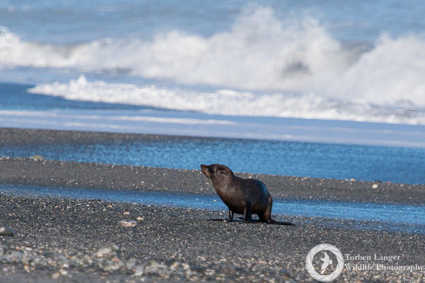 A juvenile New Zealand Fur Seal at Gillespies Beach