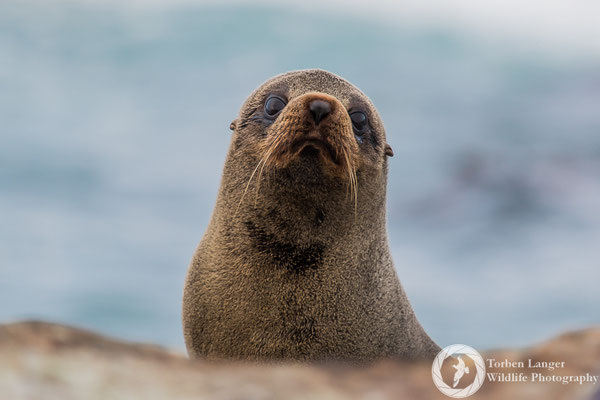 New Zealand Fur Seal close to Kaikoura