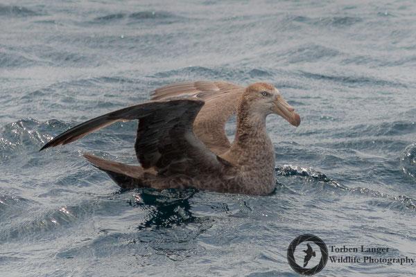 Macronectes halli / Northern Giant Petrel / Hallsturmvogel