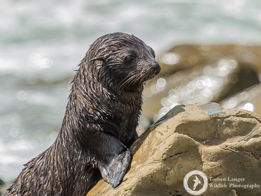 A New Zealand Fur Seal at Ohau Point