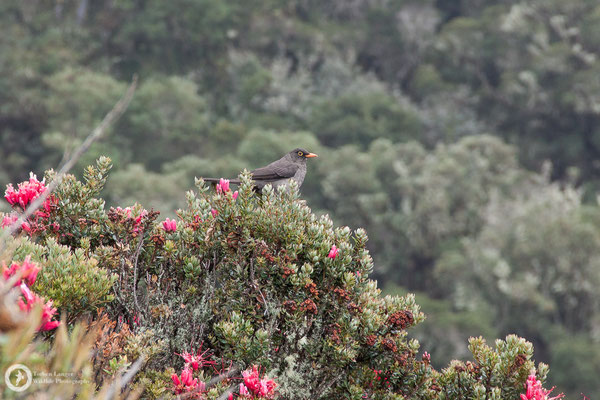 Turdus fuscater / Great Thrush / Riesendrossel