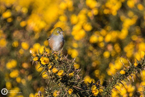 Zosterops lateralis / Silvereye / Graumantel-Brillenvogel