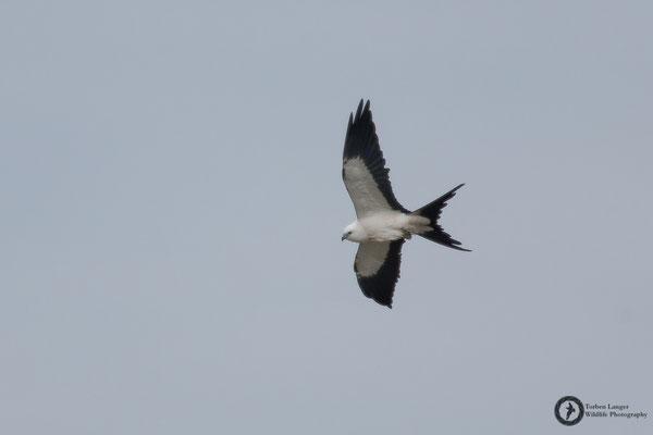 Elanoides forficatus / Swallow-tailed Kite / Schwalbenweih