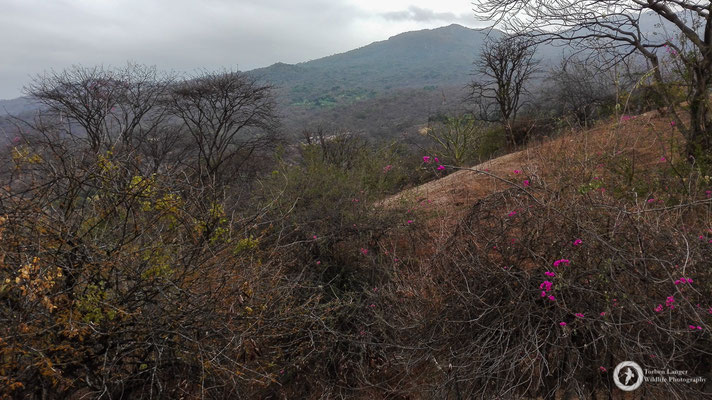 The dry forest in NW Peru is an interesting place...