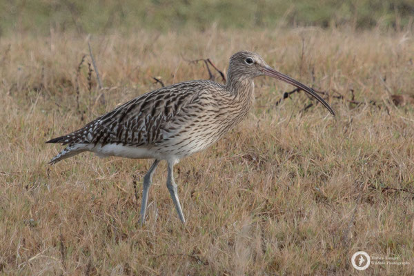 Numenius arquata / Eurasian Curlew / Großer Brachvogel