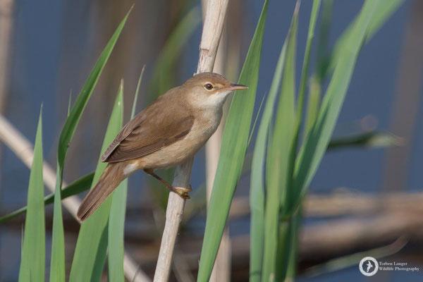 Acrocephalus scirpaceus / Common Reed Warbler / Teichrohrsänger
