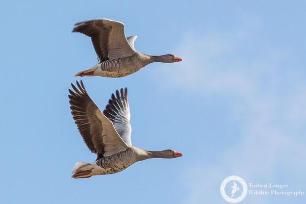 Anser anser / Greylag Goose / Graugans
