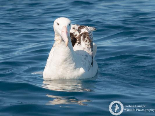 Diomedea epomorpha / Southern Royal Albatross / Südlicher Königsalbatros