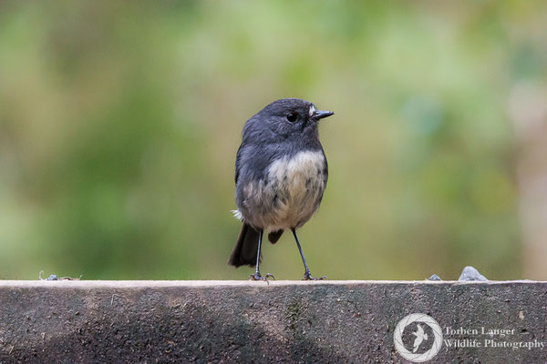 A South Island Robin on Ulva Island