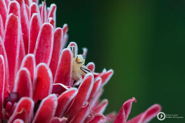 Thomisidae / Crab Spider / Krabbenspinne