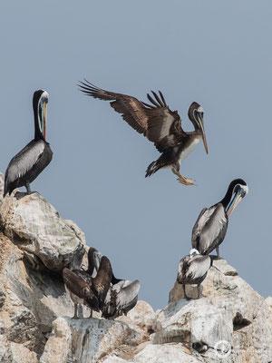 Pelecanus thagus / Peruvian Pelican / Chilepelikan