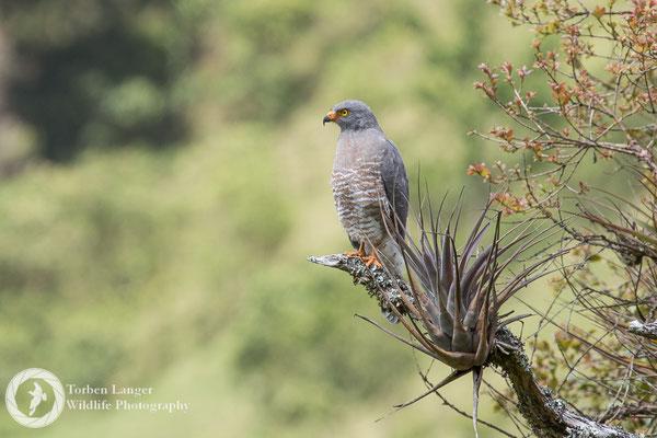 Rupornis magnirostris / Roadside Hawk / Wegebussard