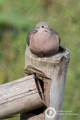 Zenaida auriculata / Eared Dove / Ohrflecktaube