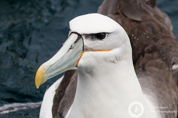 Thalassarche steadi / White-capped Albatross / Aucklandalbatros