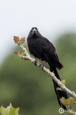 Crotophaga sulcirostris / Groove-billed Ani / Riefenschnabelani