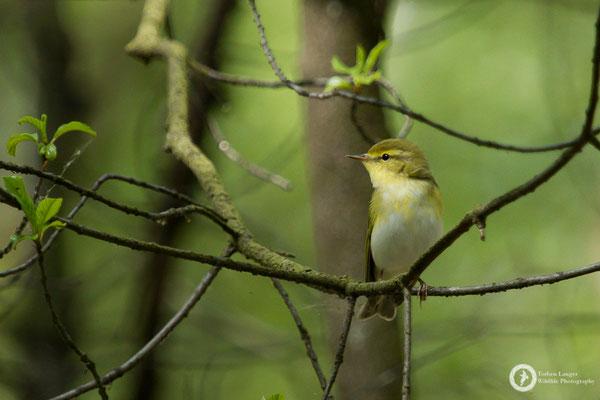 Phylloscopus sibilatrix / Wood Warbler / Waldlaubsänger
