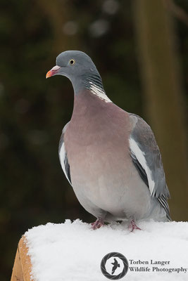 Columba palumbus / Common Woodpigeon / Ringeltaube