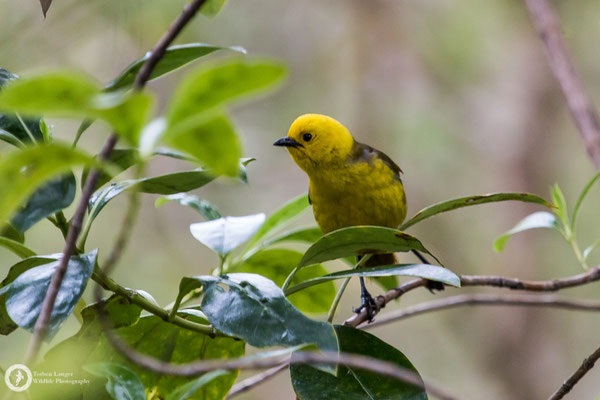 Mohoua ochrocephala / Yellowhead / Gelbköpfchen
