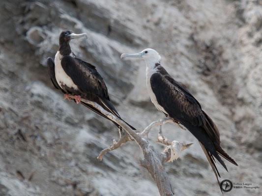 Fregata magnificens / Magnificent Frigatebird / Prachtfregattvogel ♀ & juvenile