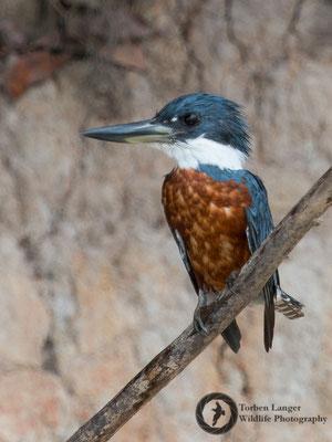 Megaceryle torquata / Ringed Kingfisher / Rotbrustfischer ♂
